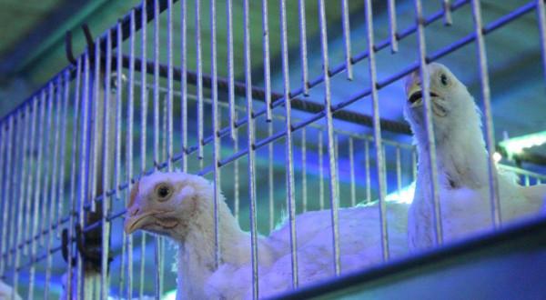 الزراعة تتفقد مزارع الدجاج الحديثة جنوبي القطاع