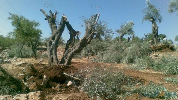 دغلس: الاحتلال يواصل اقتلاع اشجار الزيتون لشق طريق استيطاني جنوب نابلس
