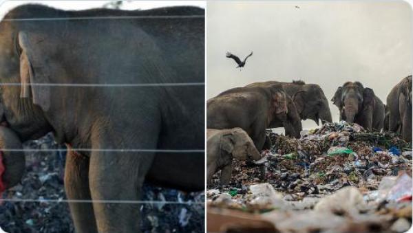 شاهد: قطيع من الفيلة في سريلانكا يبحث عن الأكل في القمامة