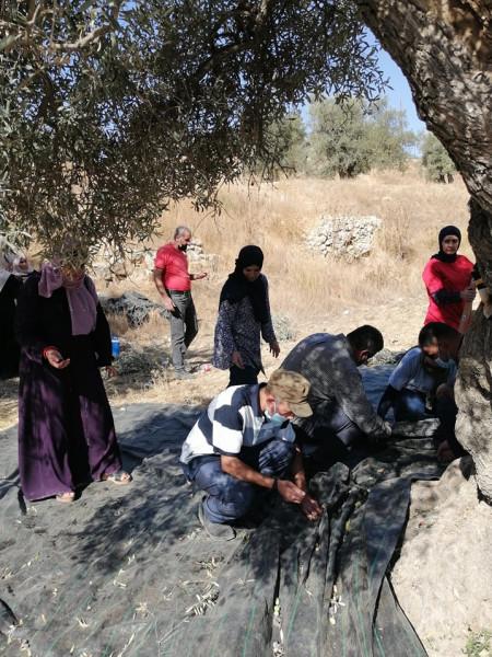 لجنة الدفاع عن الخليل تنظم عمل تطوعي لقطف الزيتون في تل الرميدة
