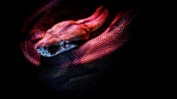 صور: اصطياد ثعبان نادر برأسين في فلوريدا