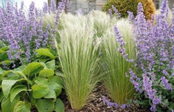 عشب (العذم الريشي) تفصيل جديد لإضافة جمال لديكور الحدائق