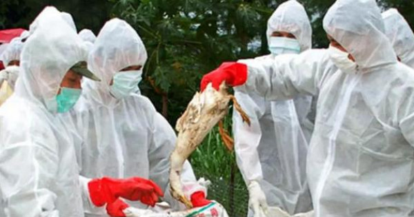 إنفلونزا الطيور تجتاح مزارع الدجاج في ألمانيا وهولندا