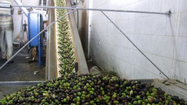 """""""الزراعة"""" بغزة: تصدير زيت زيتون القطاع لدول عربية للمرة الأولى"""