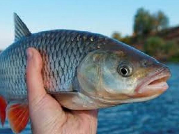 بأسنان حادة.. سمكة غريبة تشبه التمساح تحيّر الخبراء