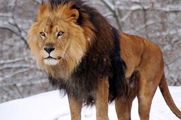 شاهد: نمر يسقط على ظهره والسبب دجاجة