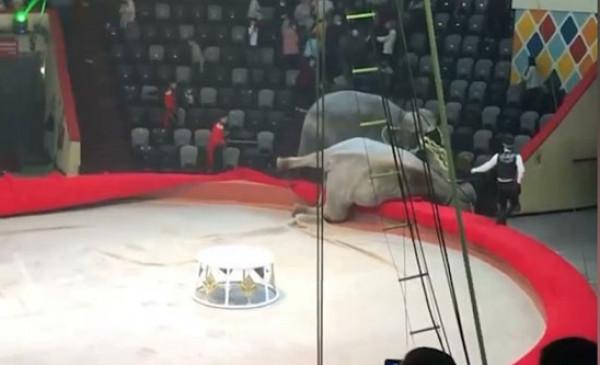 شاهد: عراك بين فيلين في سيرك روسي يخرج عن السيطرة