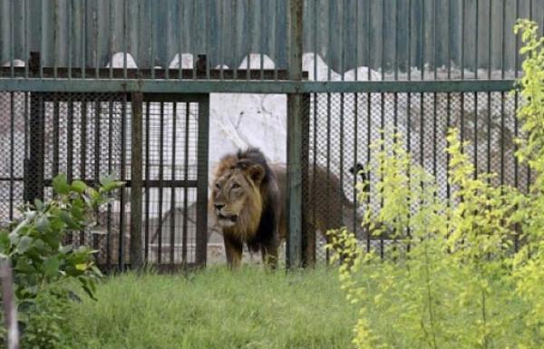 """حقيقة هروب """"أسد"""" من حديقة حيوان شمال قطاع غزة"""