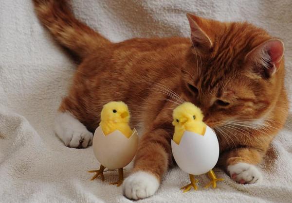 شاهد: دجاجة تتبنى ثلاث قطط صغيرة بعد غرق والدتها