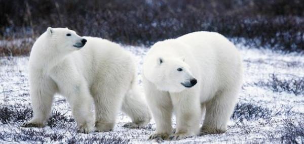 شاهد: بعد إنقاذه بالقطب الشمالي.. حديقة حيوانات موسكو تعيد تأهيل دب قطبي