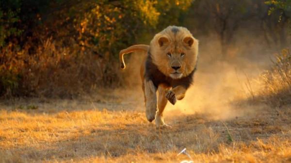 لهذا السبب.. الشرطة الصومالية تطلق النيران على أسد وتقتله