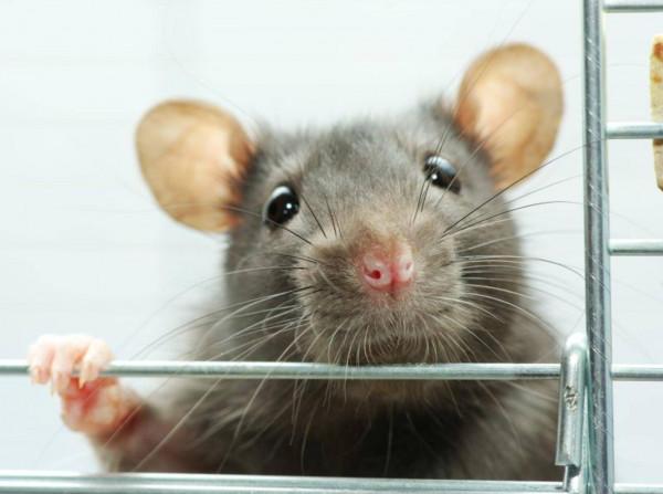 """شاهد: بعد الكشف عن 71 لغم أرضي.. إحالة """"الفأر البطل"""" للتقاعد"""