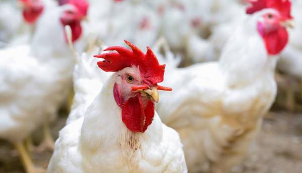 """""""الدجاج لا يزال مرتفعًا رغم الأضاحي"""".. تعرف على أسعار اللحوم بغزة"""