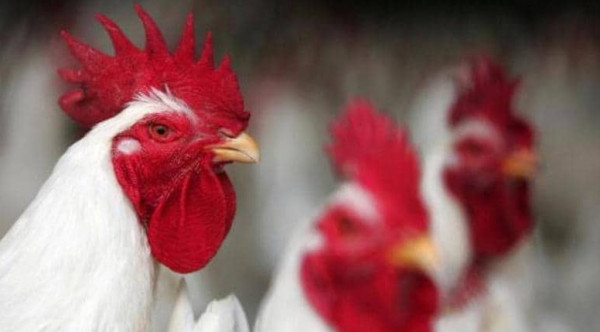 انخفاض أسعار الدجاج في أسواق قطاع غزة