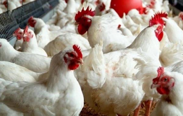 """""""استمرار انخفاض أسعار الدجاج"""".. تعرف على أسعار الخضار واللحوم بأسواق غزة"""