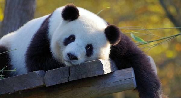 شاهد: باندا تضع صغيريها في حديقة حيوان بوفال الفرنسية.. مثير للدهشة