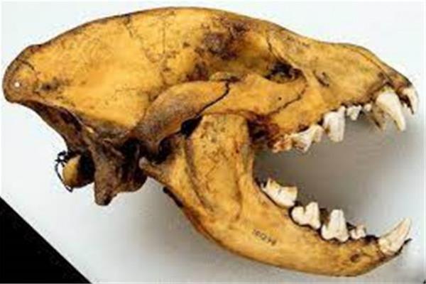 العثور على جمجمة ضبع أحفوري عملاق في روسيا