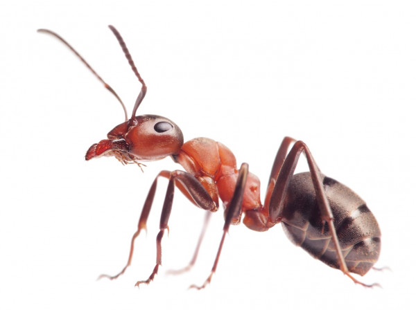 باحثون يكتشفون السر وراء قوة لدغات النمل