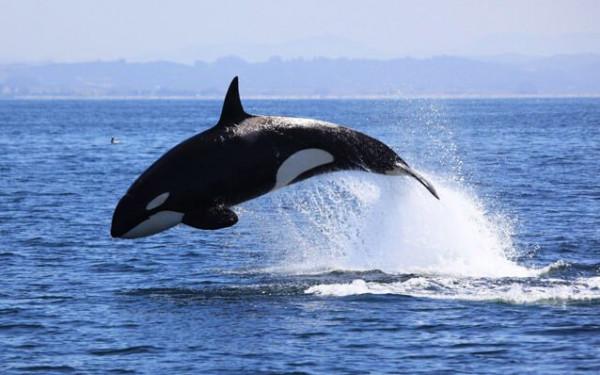 حزنا على أطفاله ووحدته.. شاهد ماذا فعل الحوت المدمر بداخل محميته