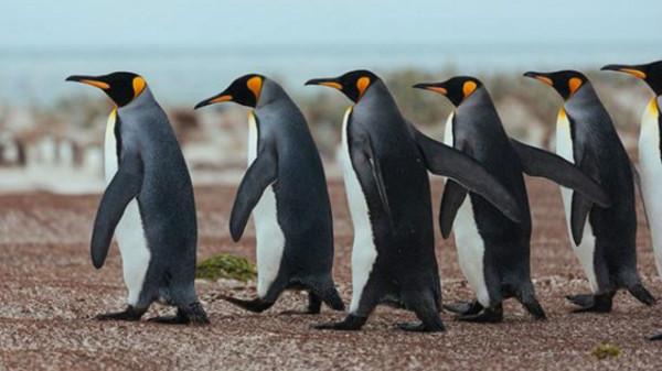 سرب من النحل يقضي على العشرات من طيور البطريق