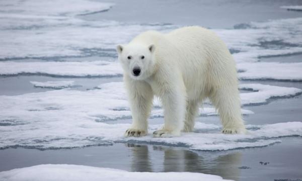 لهذا السبب.. إنهاء حياة دب قطبي حطم الرقم القياسي في طول العمر