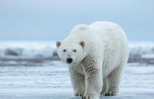 حديقة حيوان تُعدم أكبر دب قطبي بالقتل الرحيم