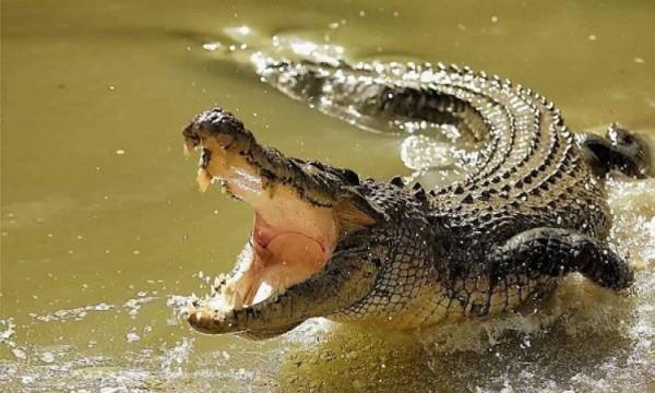 شاهد: شخص ينقذ نفسه بحيلة ذكية من هجمة تمساح