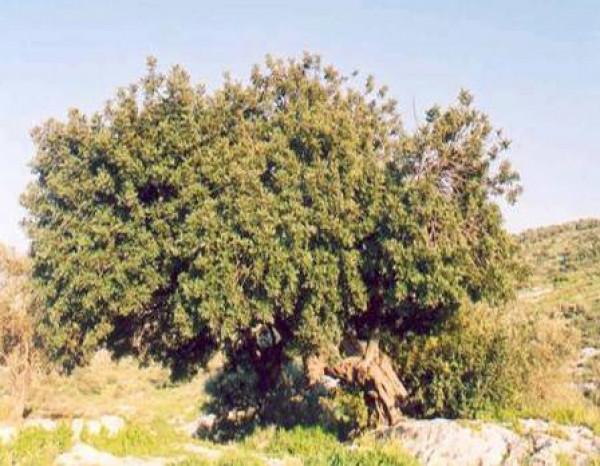 أشجار محافظة سلفيت.. حكاية معمّرة وتاريخ شاهد