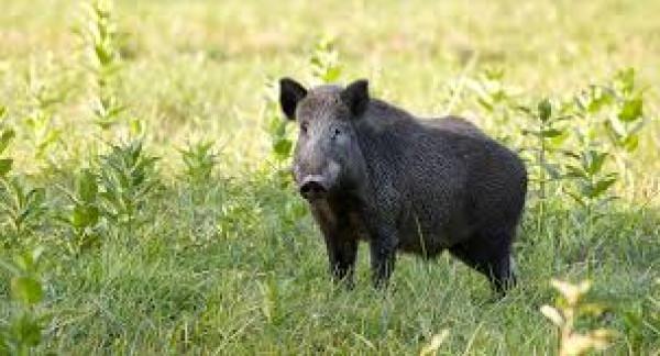 شاهد: محاولات فاشلة لخنزير يحاول إقتحام متجر ضخم في أمريكا