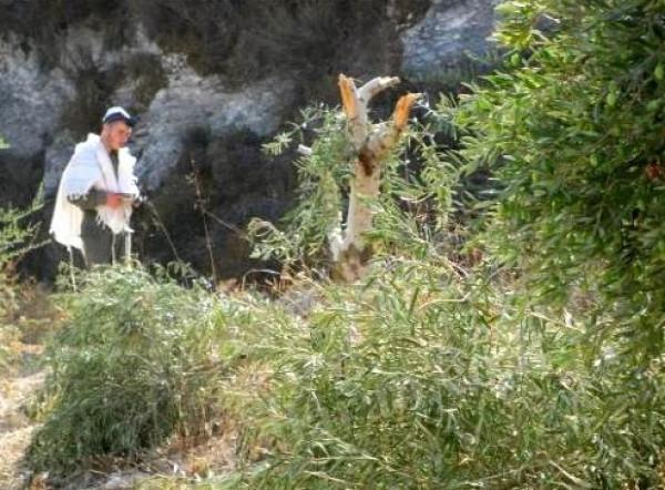 نابلس: مستوطنون يسرقون معدات لقطف الزيتون من أراضي بورين