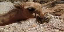 ظهور التشوهات الخلقية في حيوانات المراعي جراء التلوث النفطي بحضرموت