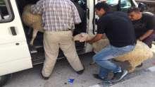 توزيع اول شحنة اغنام للمزارعين المستفيدين من مشروع العائلات الفقيرة في قرى شرق القدس