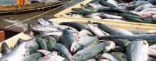دراسة بريطانية: أسماك سالمون المزارع بها دهون تفوق البيتزا