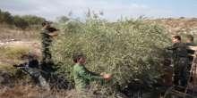 قوات الأمن الوطني الفلسطيني تشارك مواطن من بلدة تعنك في قطف ثمار الزيتون