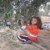 جمعية انماء تشارك الفلاحين الفلسطينين في قطف الزيتون