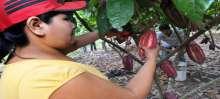 حدائق الكاكاو في البيرو