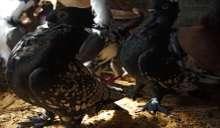 """أنواعها وأصولها ومميزاتها .. غزة : """"تربية الطيور الغريبة"""" هواية وتجارة .. صور"""