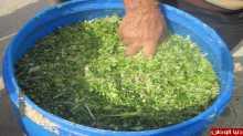 مديرية زراعة نابلس تنفذ مشاهده في صناعة السيلاج في منطقة النصاريه