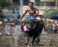 سباق البقر البافالو في تايلاند