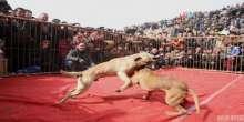 بالصور: صينيون يحتفلون بعامهم الجديد بمصارعة الكلاب