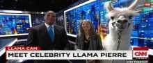 """بالفيديو: """"سي إن إن"""" تستضيف حيوان """"اللاما"""" في برنامج على الهواء"""