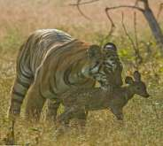 أنثى النمر تعامل غزالا وكأنه أحد صغارها