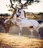 جمال الخيول العربية الأصيلة