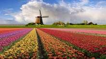 حقول ورد التوليب في هولندا