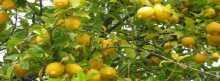 الليمون يفوق العلاج الكيماوى 10 آلاف مرة فى قتل الخلايا السرطانية