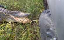 """بالفيديو: كيف عاقب """"تمساح""""قائد سيارة حاول إزعاجه !"""