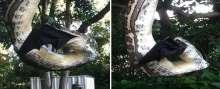 بالصور: ثعبان يلتهم خفاش ضخم ويستغرق أكثر من 30 دقيقة في ابتلاعه