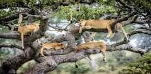 شاهد.. صور نادرة لـ 10 أسود نائمة على شجرة بأفريقيا