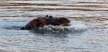 بالصور.. شاهد كيف هرب فرس نهر من فك أسدين
