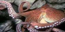 بالصور.. أنثي الأخطبوط أكثر أم مُضحية في العالم تموت بعد 6 أشهر